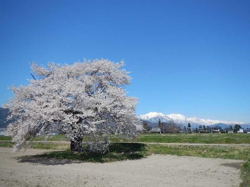 松川村、大町市南部の桜が見頃です。