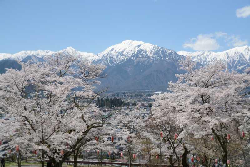 大町市内桜満開! 大町公園