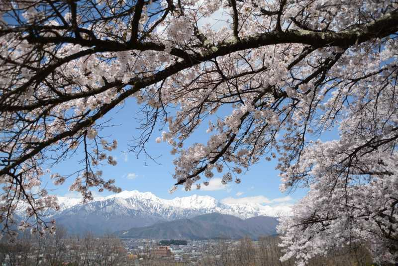 大町市内桜満開! 大町霊園