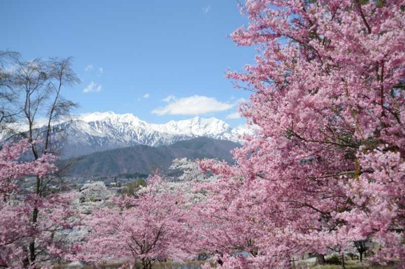 大町市内桜満開! 北山田町、市民の森