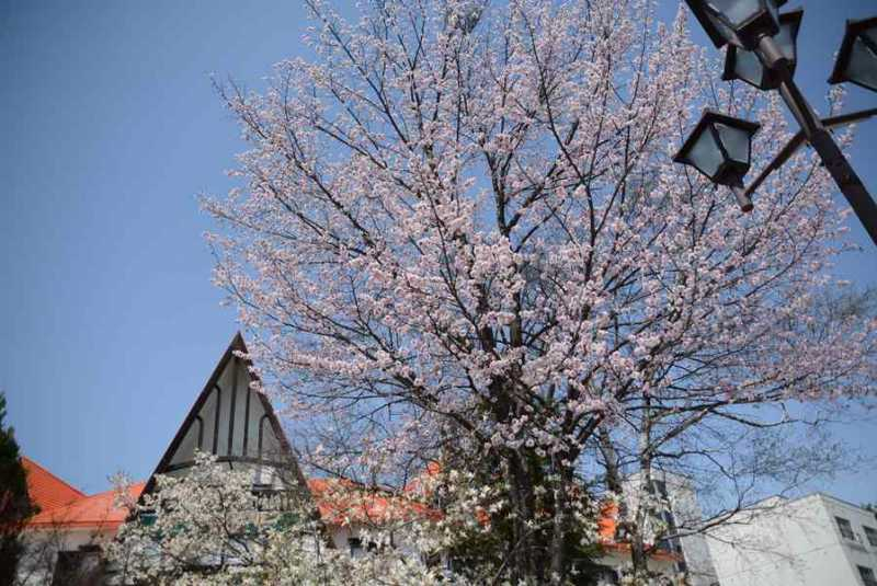 大町温泉郷桜満開!
