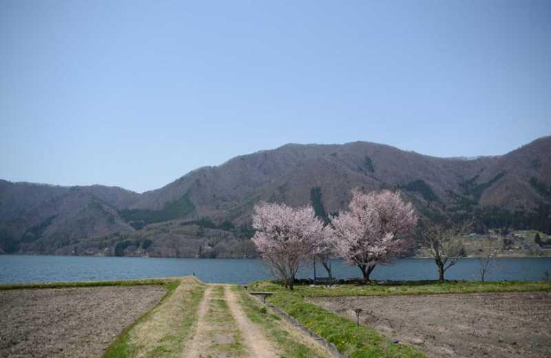 大町市内桜満開! 木崎湖