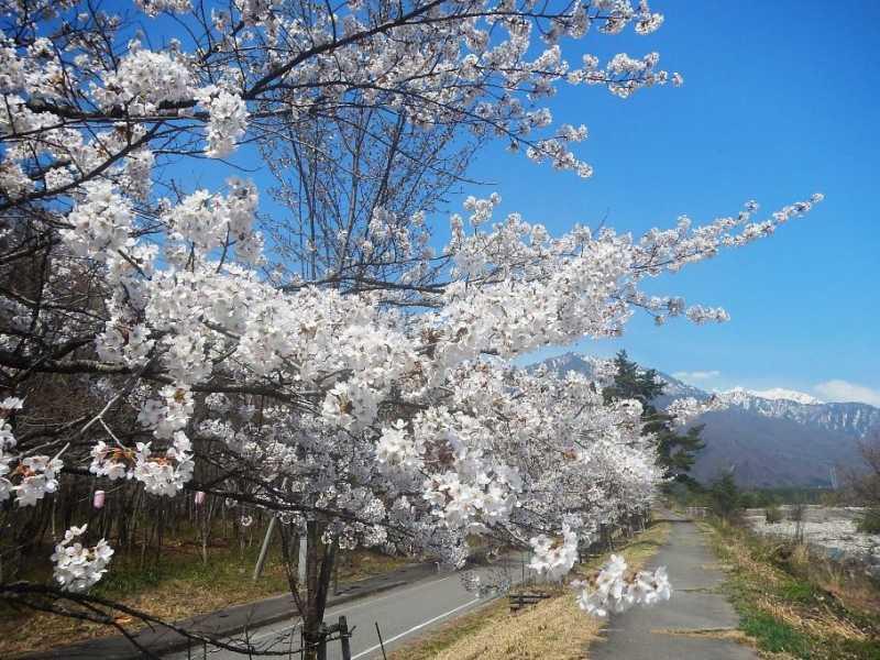 大町温泉郷の桜
