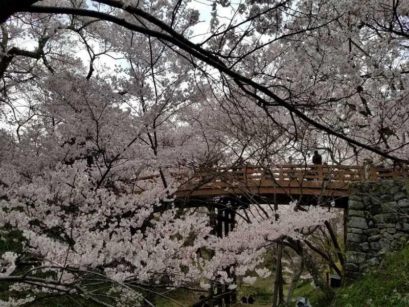 高遠城址公園の桜が見ごろです。