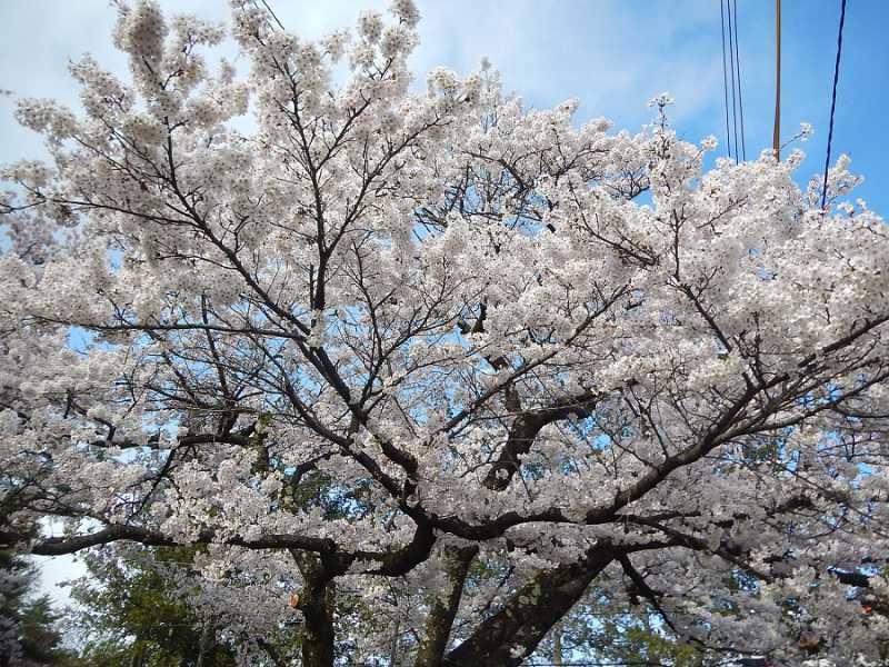 大町温泉郷の桜が満開です!